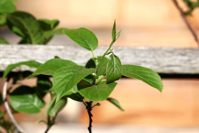 Vite perenne kiwi o di arguta resistente di Actinidia con le foglie coriacee verde scuro e la piccola bacca resistente del kiwi o immagine stock