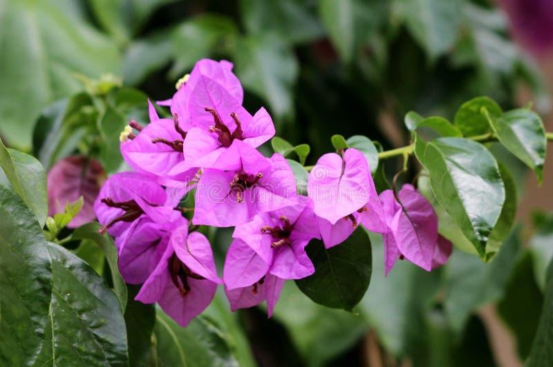 Vite resistente della buganvillea con il magenta-color scarlatto delle brattee intorno ai fiori gialli circondati con le foglie v immagini stock