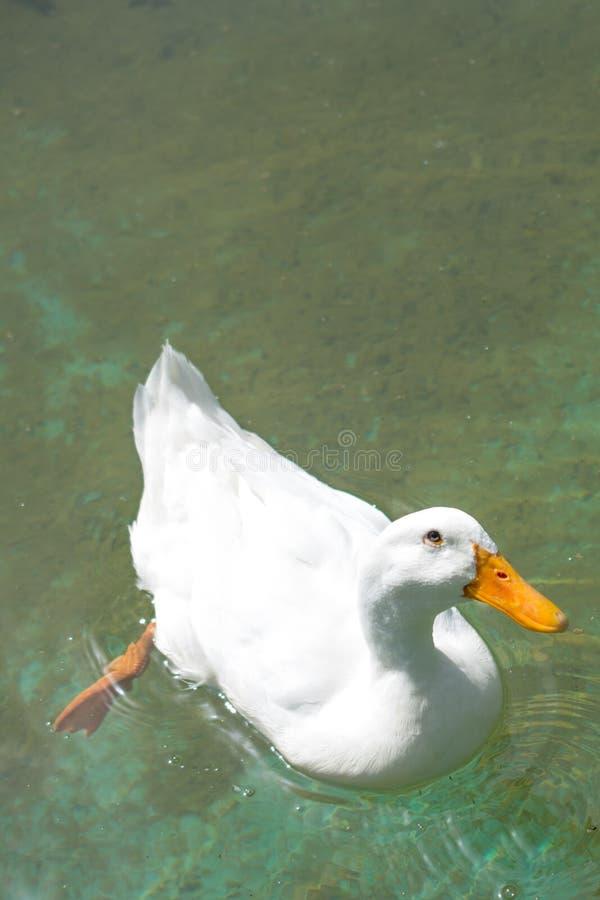 Vite sole dell'uccello nell'ambiente naturale fotografia stock