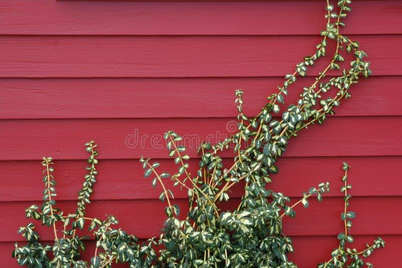 Vite su colore rosso fotografia stock libera da diritti