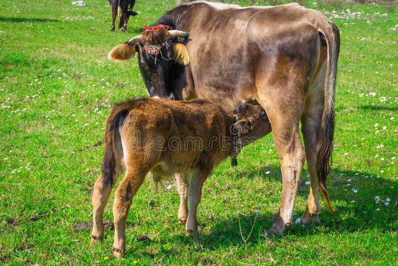 A vitela bonita suga o leite dele é mãe Vaca marrom ornamentado do bebê e vaca da mãe Marmaris, Kumlubuk, Turquia sunlights imagens de stock royalty free