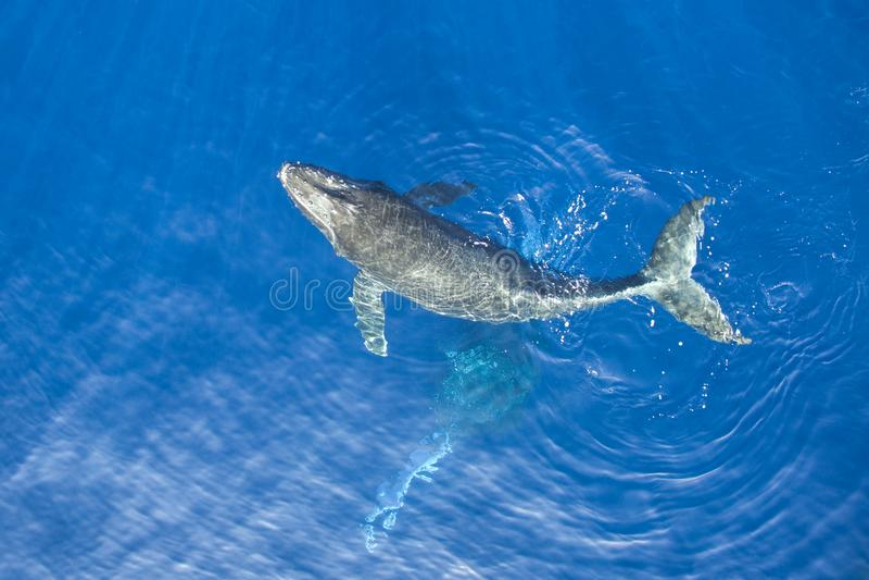 Vitela da baleia de corcunda foto de stock