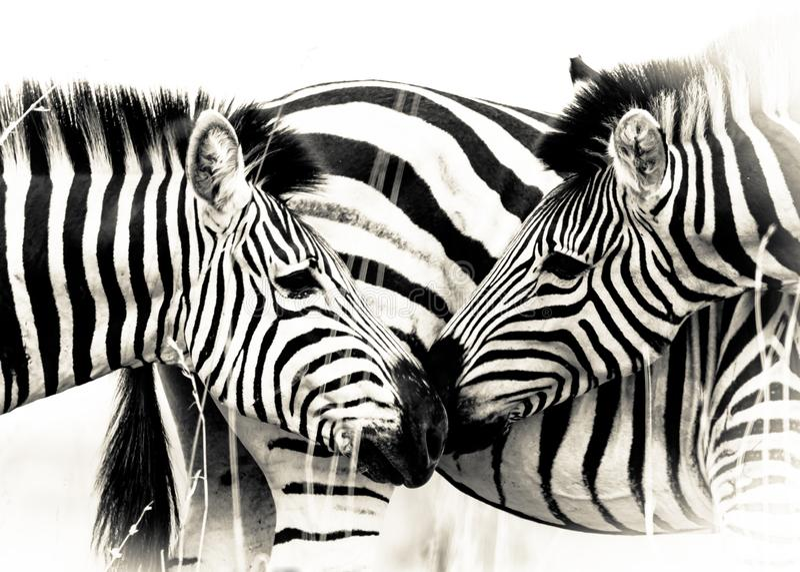Vitela da m?e da zebra foto de stock royalty free