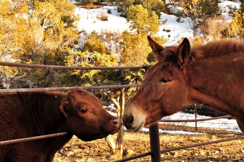 Vitela da mula e da bezerra que cumprimenta-se através de uma cerca imagem de stock