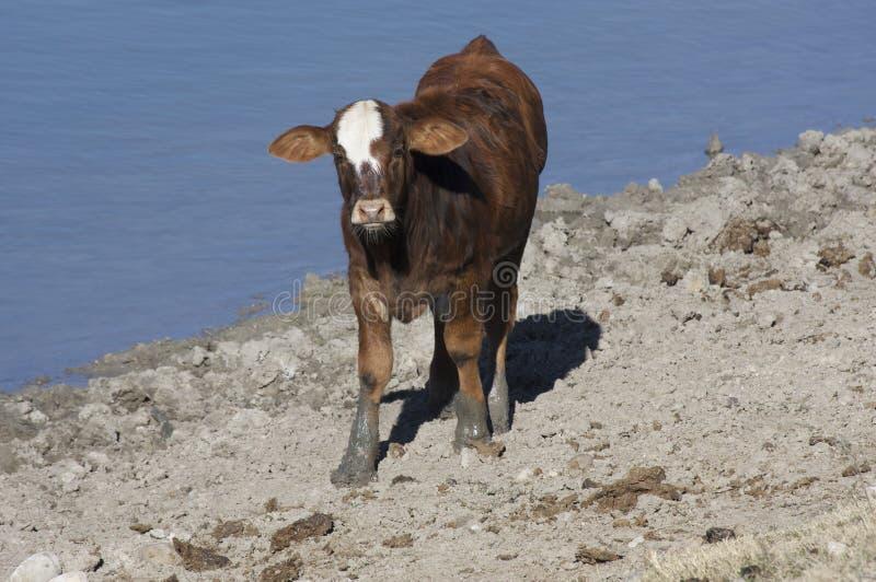 Vitela da vaca de Hereford por Lagoa (taurus do Bos) imagem de stock
