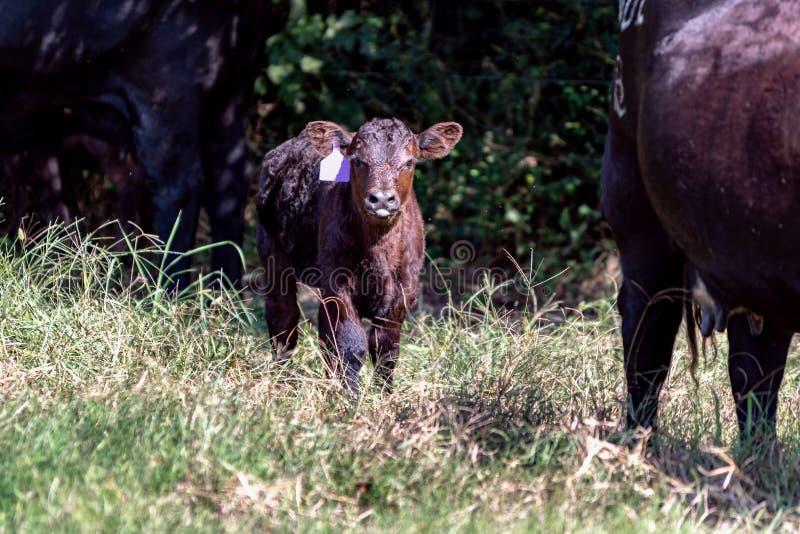 Vitela de Angus do bebê entre duas vacas imagens de stock royalty free