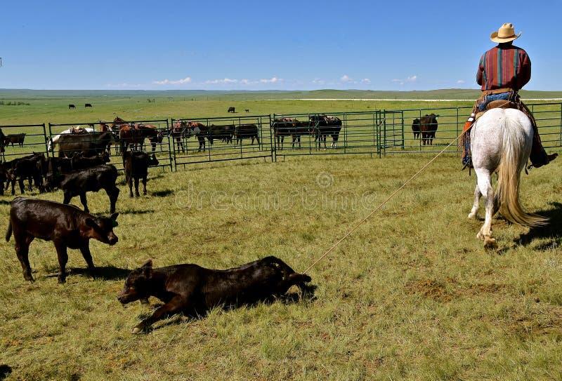 A vitela de Angus roped pelos pés traseiros em um ajuntamento fotos de stock