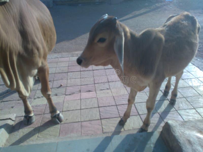 A vitela do beb? para e olha fixamente fotografia de stock