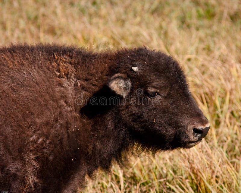 Vitela do bisonte foto de stock royalty free