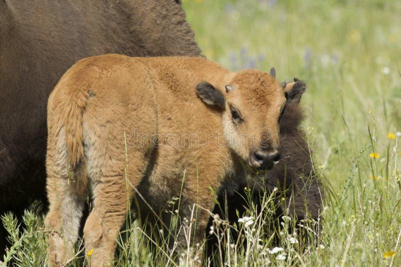 Vitela do bisonte pela mãe imagens de stock