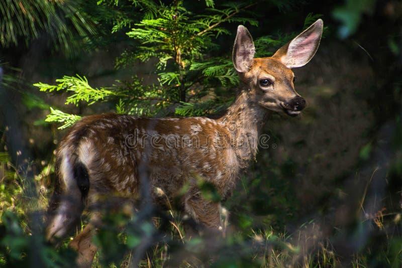 Vitela dos cervos de mula imagens de stock