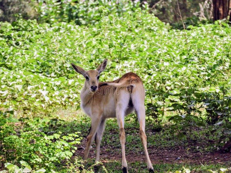 Vitela dos cervos em Sri Lanka foto de stock royalty free