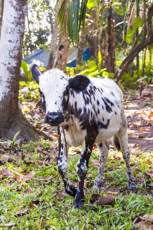 A vitela indiana da vaca pasta nas selvas de Kerala imagens de stock