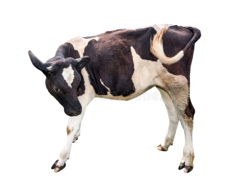 Vitela isolada no branco Vitela manchada preto e branco bonita isolada no branco Fim completo do comprimento da vaca pequena engr imagens de stock