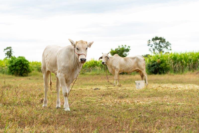 Vitela masculina branca nova e vaca fêmea fotografia de stock royalty free
