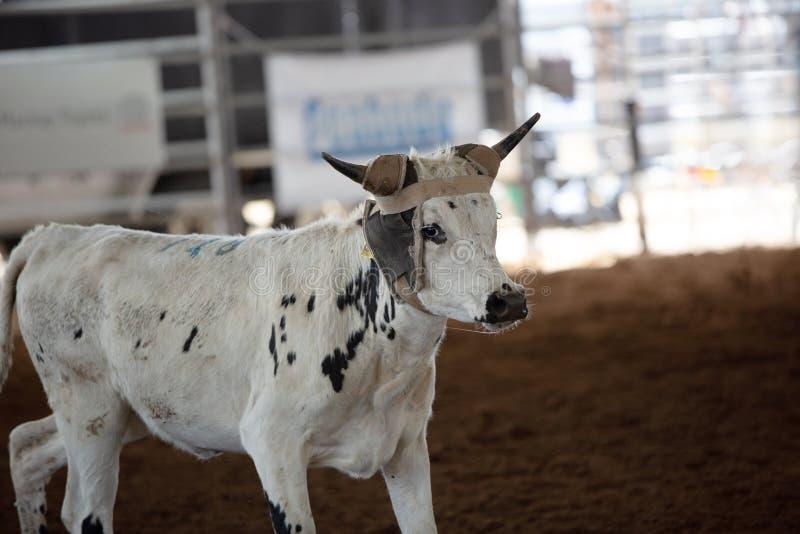 Vitela no evento Roping da vitela no rodeio interno fotos de stock royalty free