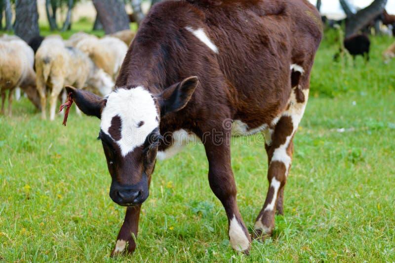 A vitela ou o touro novo olham a câmera imagens de stock
