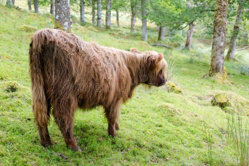 A vitela peludo nova em montanhas escocesas está de volta à câmera imagens de stock