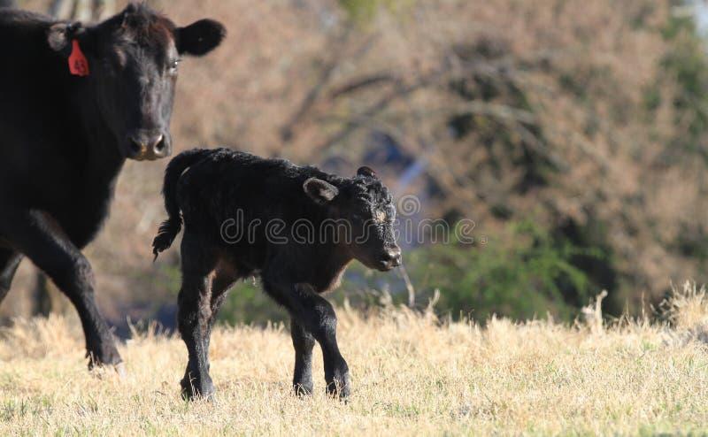 Vitela que anda com a vaca no pasto da mola imagens de stock