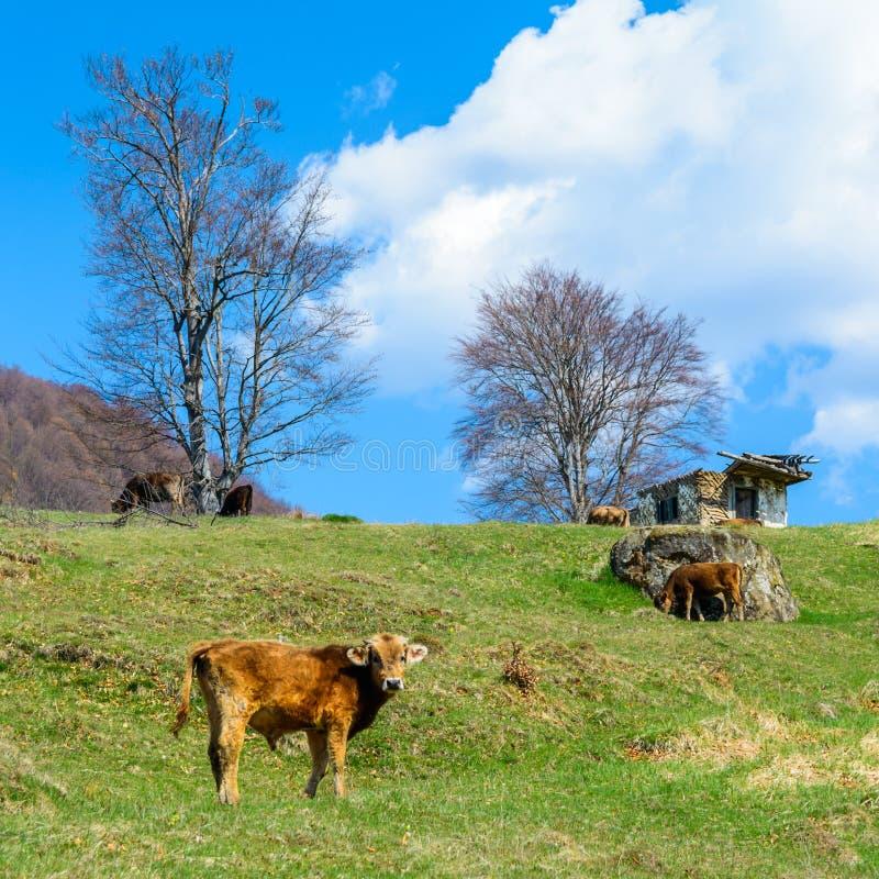 Vitelas e vacas que comem a primeira grama da mola em montes romenos imagens de stock