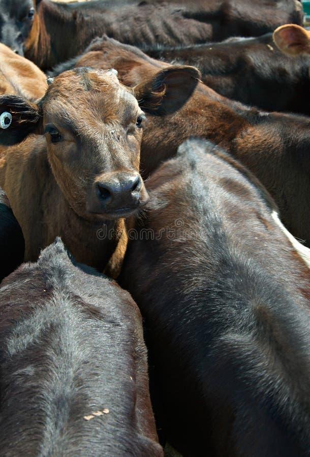 Vitelas ou vacas em um feed-lot fotos de stock