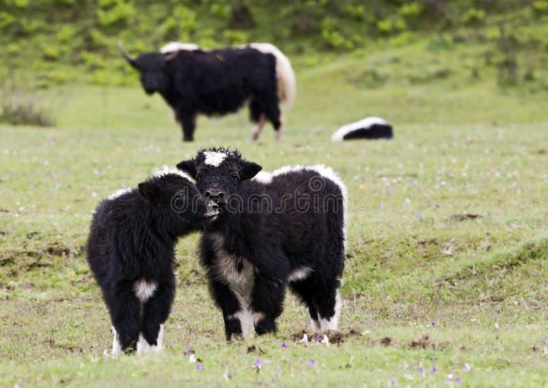 Vitelli Nuzzling dei yak fotografie stock