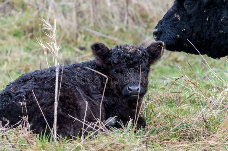 Vitello bovino nero selvaggio che si trova sull'erba con la madre preoccupantesi immagine stock