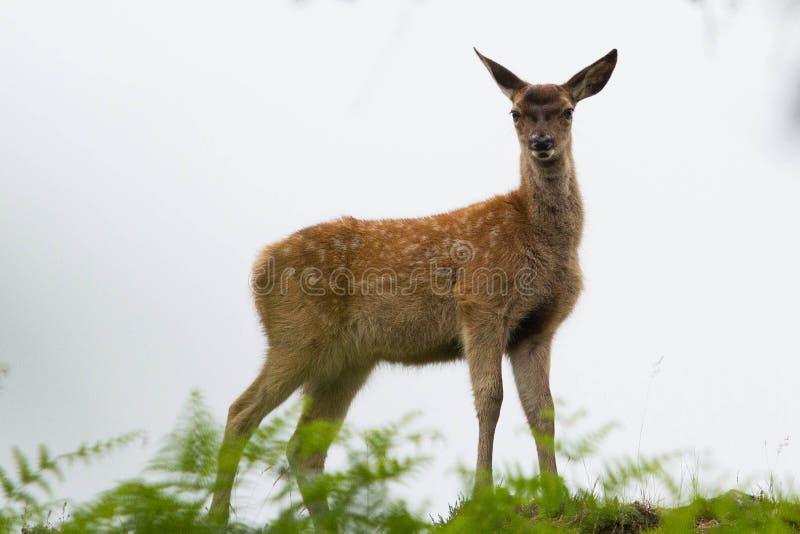 Vitello dei cervi nobili in felce aquilina immagini stock libere da diritti