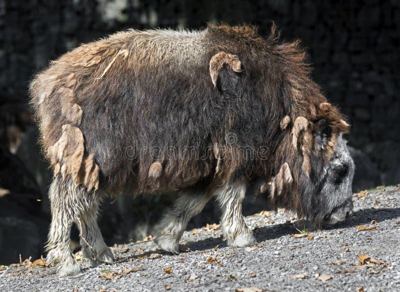 vitello del Muschio-bue immagini stock