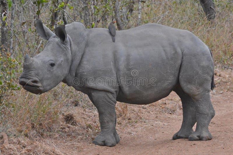 Vitello del rinoceronte bianco del bambino immagine stock