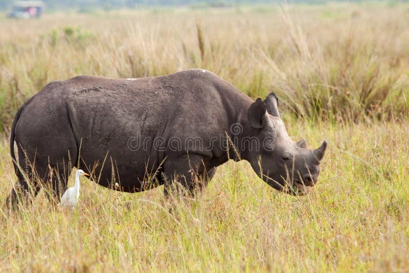 Vitello del rinoceronte nero fotografia stock