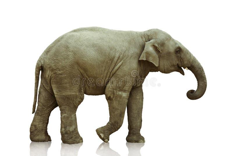 Vitello dell'elefante immagini stock