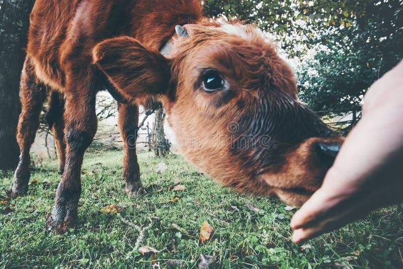 Vitello della mucca che mangia dalla mano dell'uomo fotografie stock libere da diritti