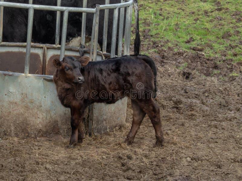 Vitello di Brown in un campo accanto ad un alimentatore del bestiame immagini stock