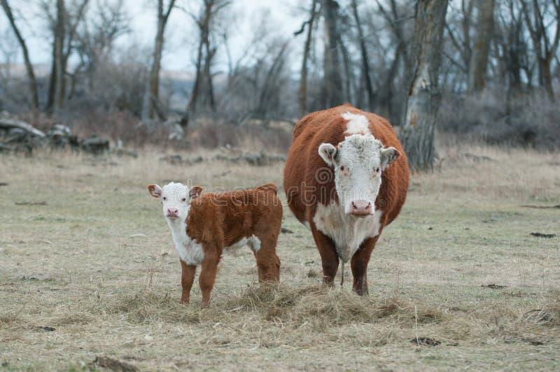 Vitello di Hereford e mucca di Hereford fotografia stock