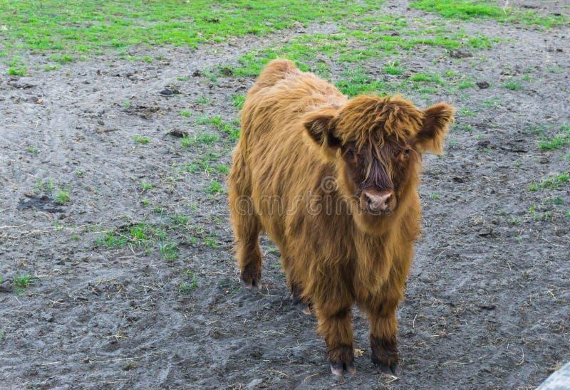 Vitello peloso dell'altopiano di Brown, una mucca giovanile dell'altopiano fotografia stock libera da diritti