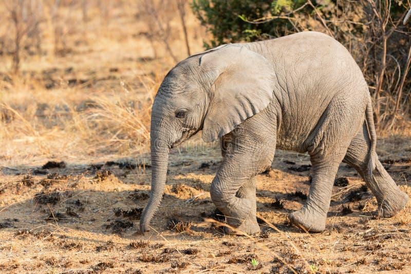 Vitello solo dell'elefante che cammina in Africa sopra una pianura della savanna immagini stock