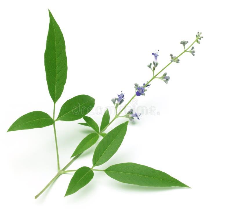 Vitex Negundo oder medizinisches Nishinda verlässt mit Blumen stockfotografie