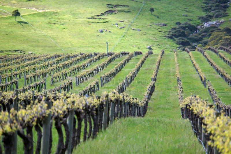 Viti Australia - viti che crescono con il bello paesaggio di rotolamento le colline verdi e degli alberi nel fondo fotografie stock