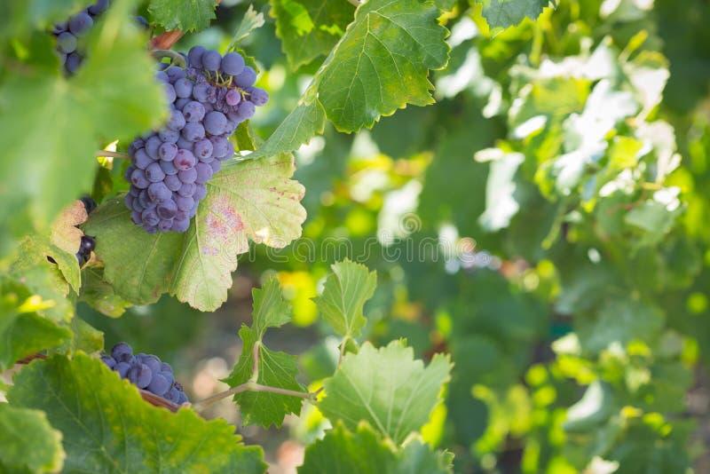 Viti con l'ubriacone, gli acini d'uva maturi e le foglie verdi fotografie stock