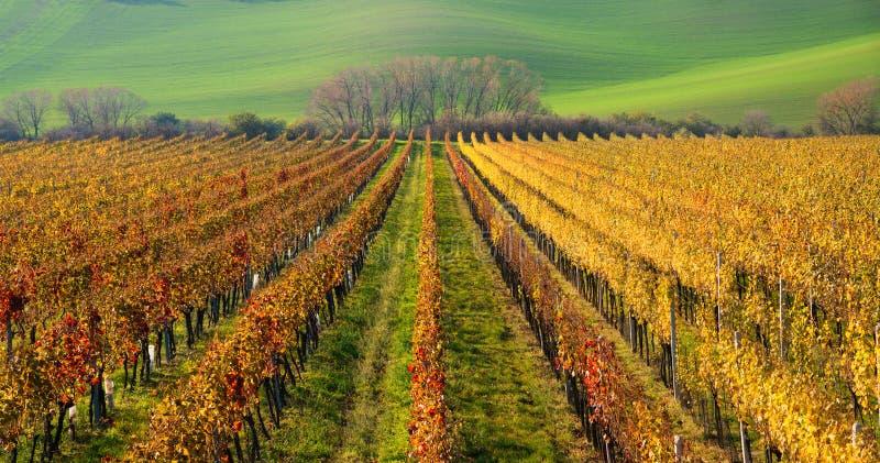 Viti di Autumn Colorful Rows Of Grape Vigne di Autumn Landscape With Colorful Grape della repubblica Ceca Fondo astratto di Autu immagini stock