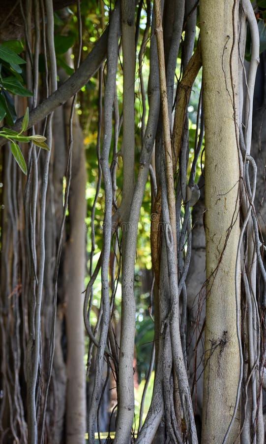 Viti e corteccia dell'albero di banyan fotografia stock libera da diritti