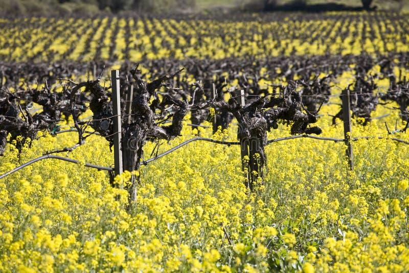 Viti e fiori della senape, Napa Valley fotografie stock