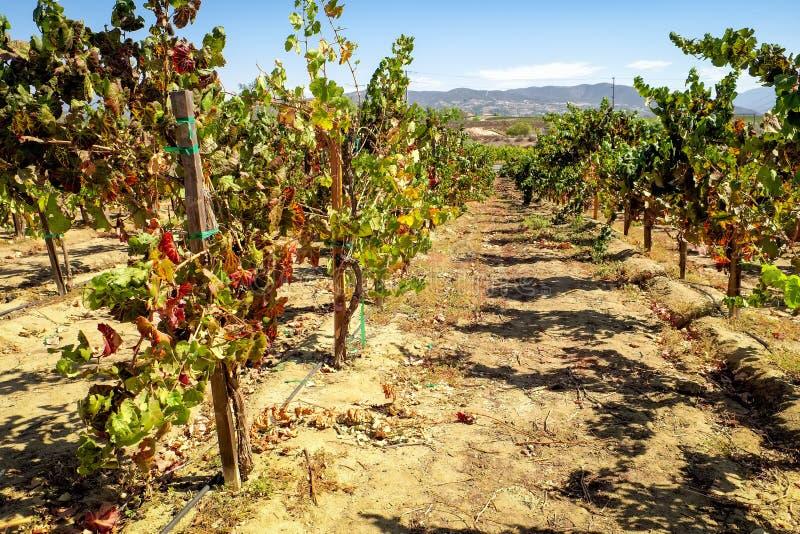 Viti, paese di vino di Temecula fotografie stock libere da diritti