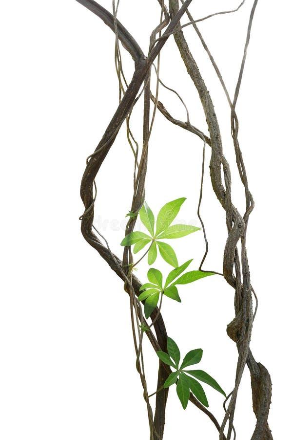 Viti torte della giungla con le foglie del pla della liana di ipomea selvaggia fotografie stock libere da diritti