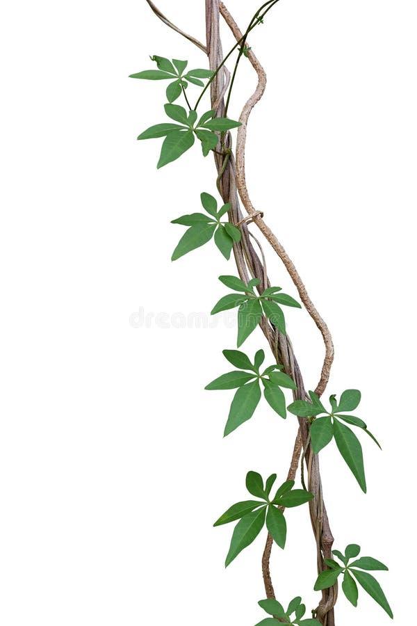 Viti torte della giungla con le foglie verdi di ipomea selvaggia o fotografie stock