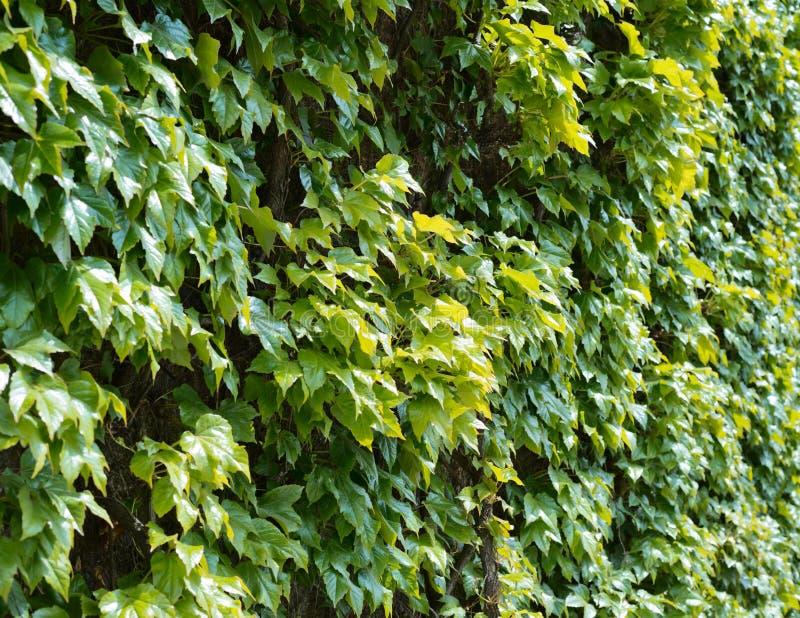 Viticcio del parthenocissus che scala pianta decorativa - Scala decorativa ...
