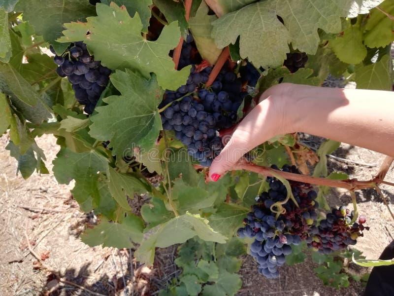 Viticoltori e uva nel vigneto immagini stock