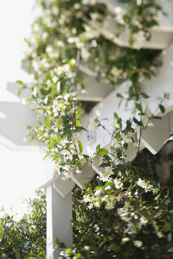 Viticoltura di fioritura su traliccio. fotografie stock libere da diritti