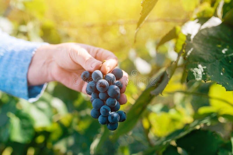 Viticulteur féminin moissonnant des raisins dans la cour de raisin image libre de droits